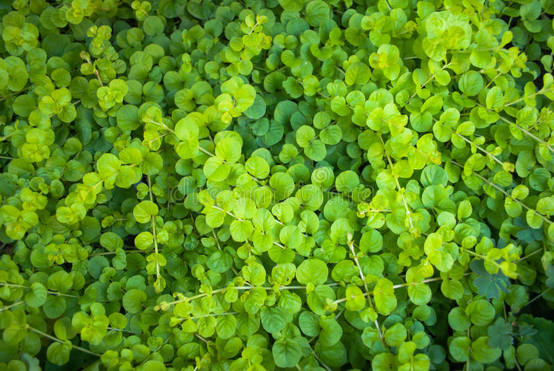 Dichondra Repens lawn seeds money grass hanging decorative garden plants do  flower seeds for Home garden #DecoracionconPlanta… in 2020 | Plants, Garden  plants, Seeding lawn