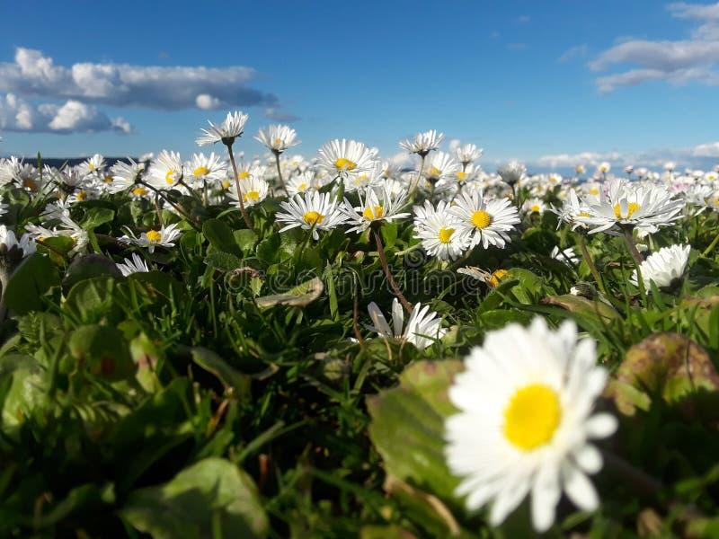 Tiny little daisy royalty free stock photo
