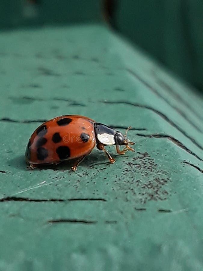 Tiny lady bug royalty free stock photo