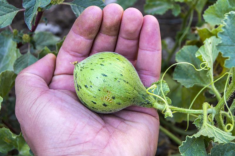 Tiny melons in the garden, immature tiny melon pictures, stock photography