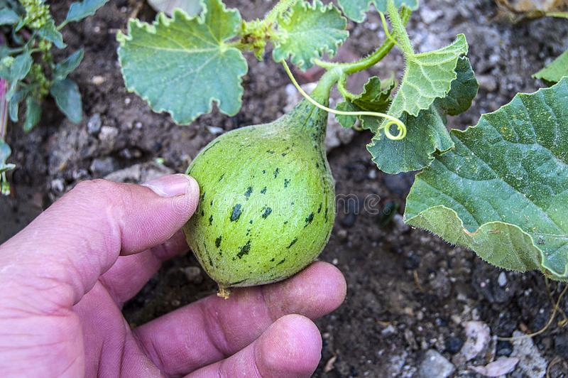 Tiny melons in the garden, immature tiny melon pictures, stock photo