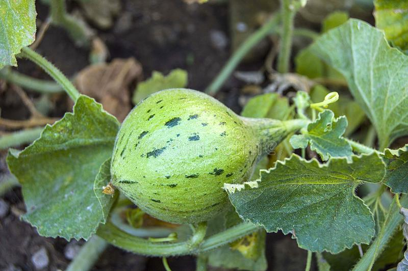 Tiny melons in the garden, immature tiny melon pictures, stock images