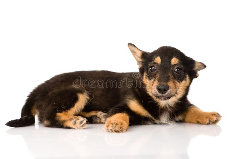 Tiny mixed breed puppy dog looking at camera. isolated on white stock photos