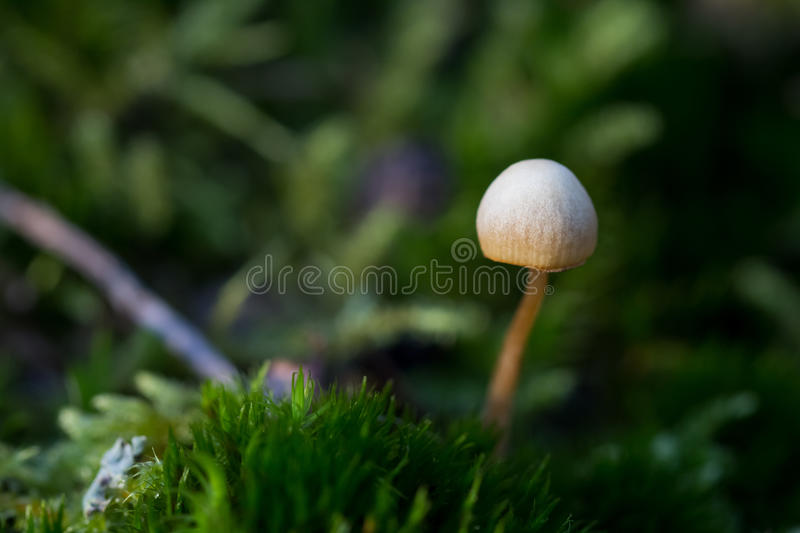 Tiny mushroom with green background royalty free stock photo