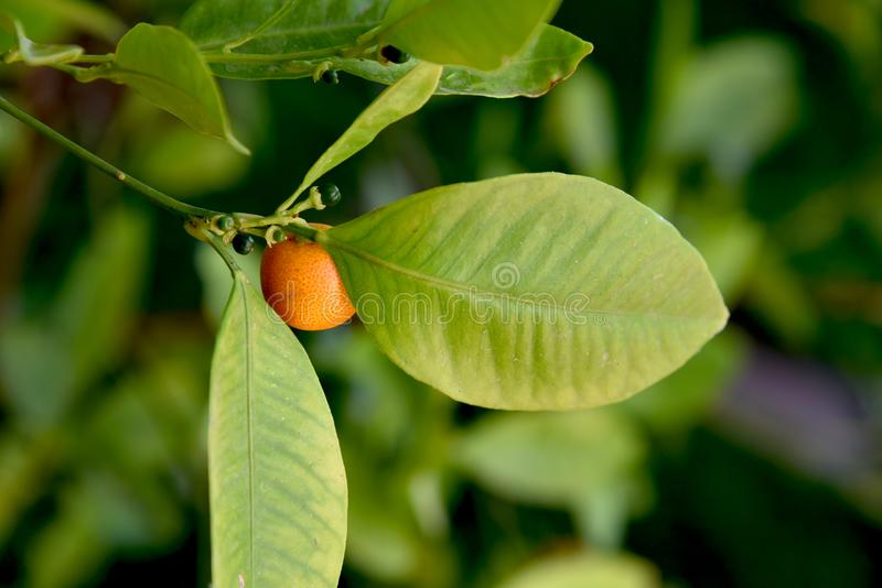 Tiny oranges fattening on the tree. At garden in the morning royalty free stock photography