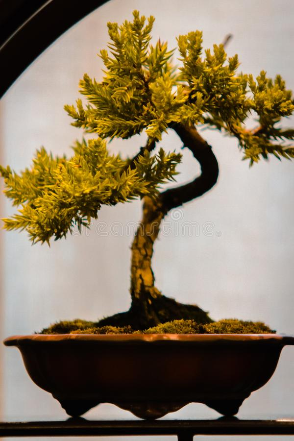 Tiny pine bonsai tree at a show in Grand Rapids Michigan. At the Frederik Meijer Gardens royalty free stock image