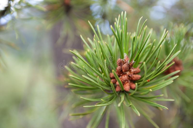 Evergreen Tree in Colorado royalty free stock photography