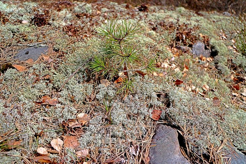 A tiny pine tree sprout surrounded by thick moss. stock images