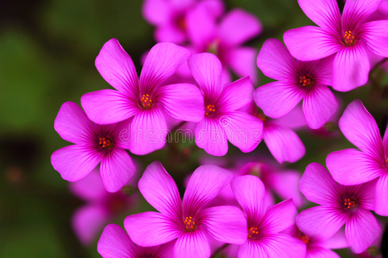 Tiny Pink Flowers. Group of beautiful tiny pink flowers stock photos