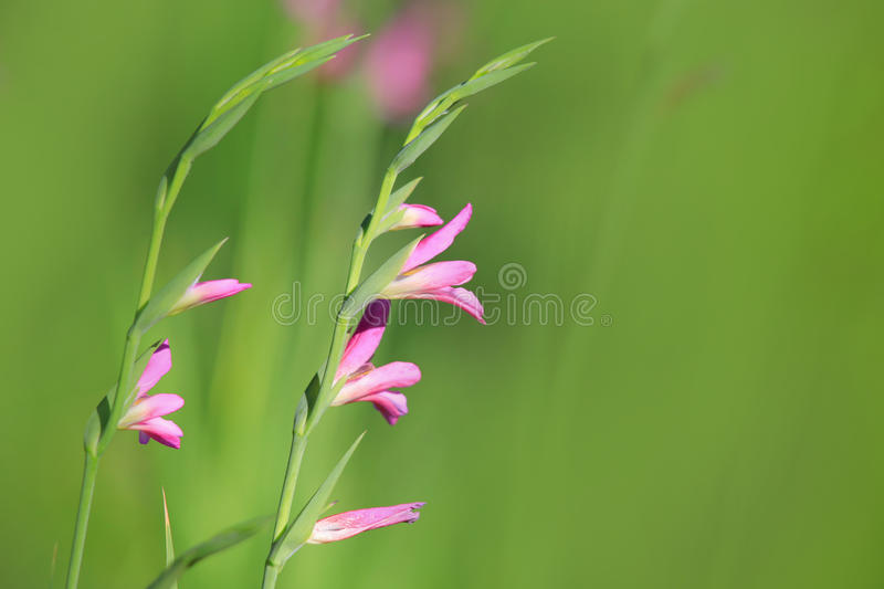 Tiny pink flowers royalty free stock images