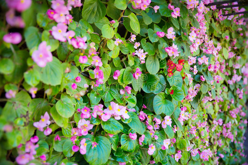 tiny pink ivy flower wall. nature house wall from pink ivy flower. image for background royalty free stock image
