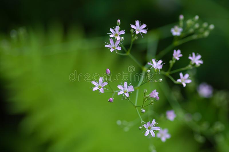 Tiny pinkish flowers on a blurred background. Tiny pinkish flowers against a  blurred image of a green fern leaf stock images