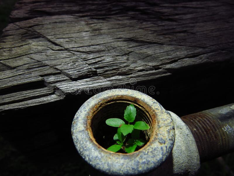 A tiny weed growing in an old water pipe. A tiny plant grows in the end of a disused galvanised water pipe in a garden stock photo