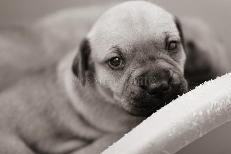 Tiny Pup Looking Up Royalty Free Stock Images