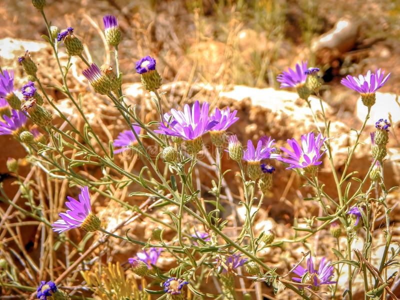 Tiny Purple Blooms in The Desert. This unique photo of tiny purple flowers was photographed in Arizona stock photography