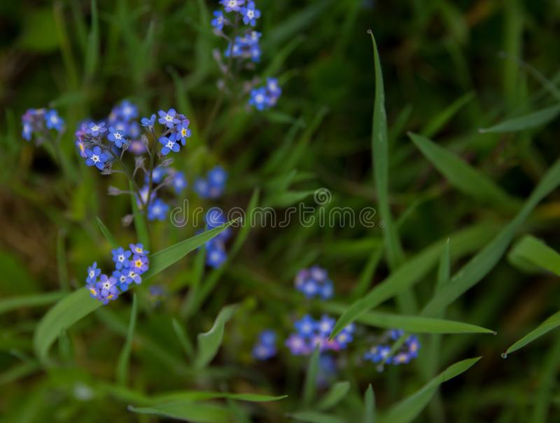 Tiny purple blooms on green stems in the grass. stock photos