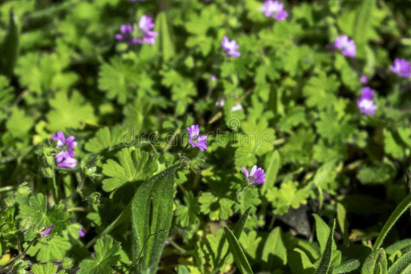 Tiny Purple blooms. Photo taken in Columbia, California. The ground was covered with these little purple blooms royalty free stock photo
