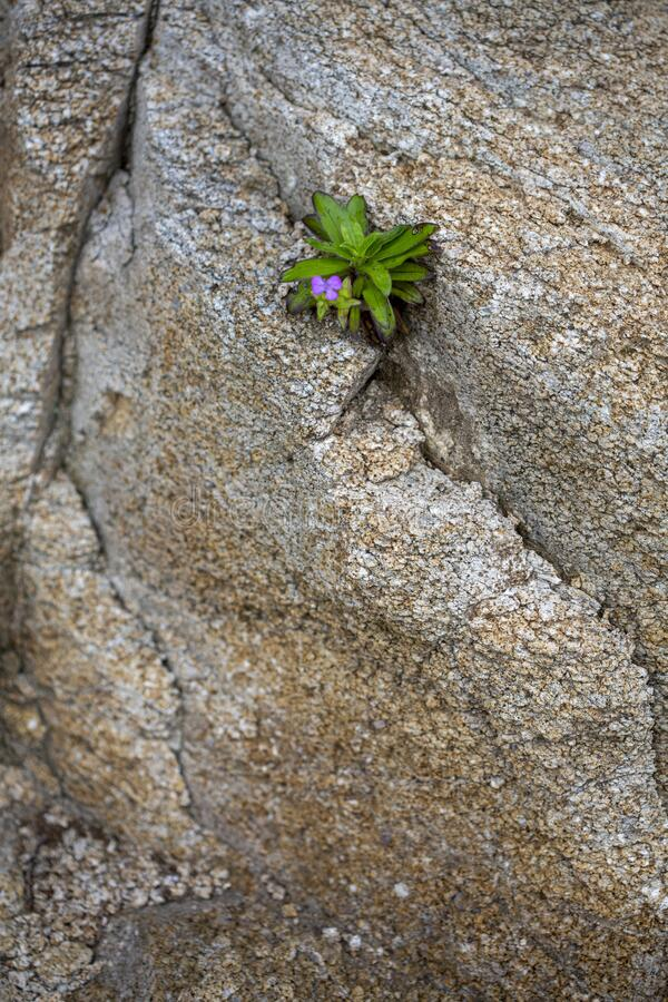 Rock wall in Hiroshima, Japan with small flower sprouting from a crack stock image