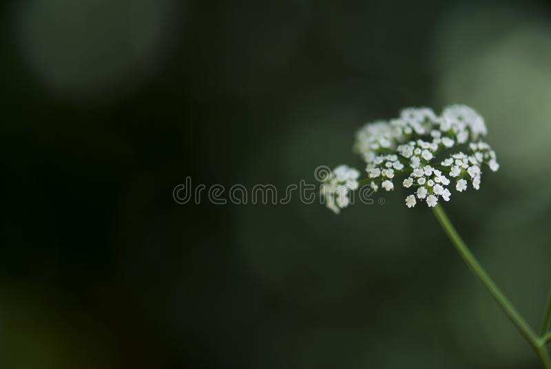 Tiny Queen Ann`s Lace Flowers. A tiny, queen Ann`s lace flower head blooms against a lush, green background in summertime stock photo