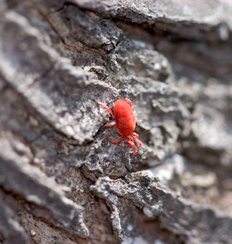 Tiny Red Bug Free Stock Photos