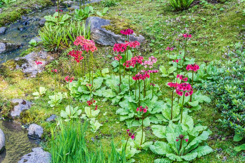 Tiny Red Flowers. In a garden in Seattle, Washington royalty free stock photos