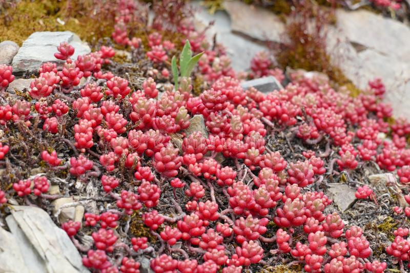 Tiny red succulent royalty free stock photo