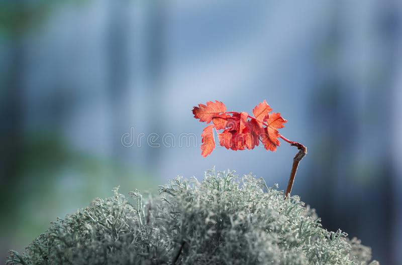 Tiny rowan growing tree on forest floor in autumn royalty free stock image