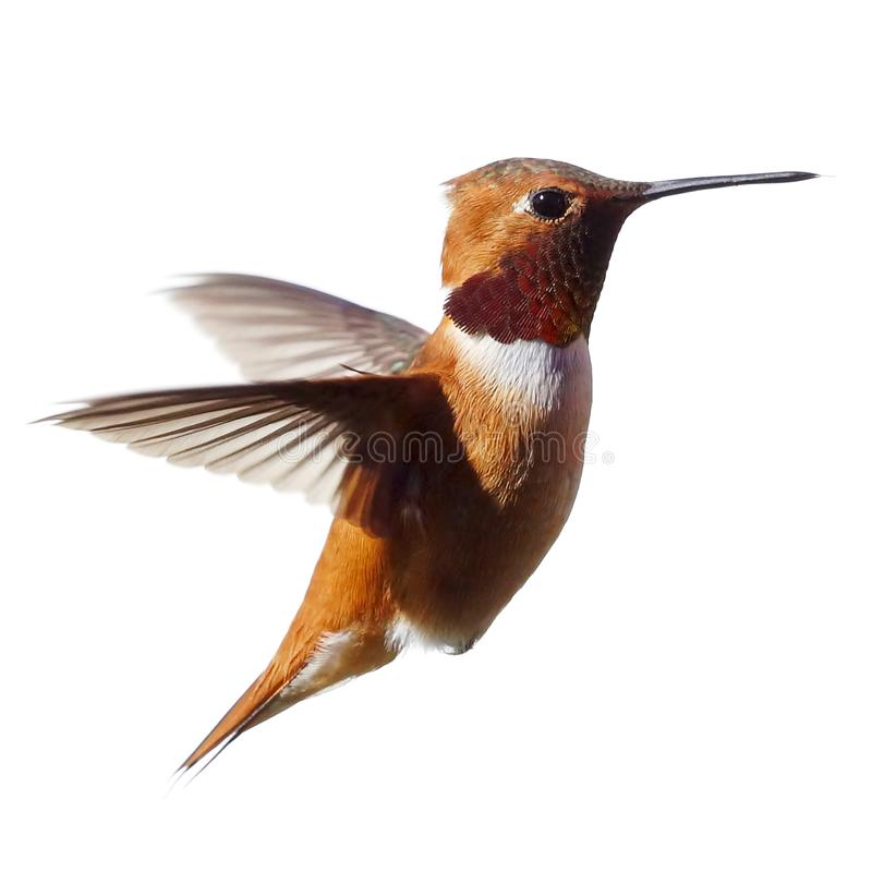 A Male Rufous Hummingbird isolated in flight royalty free stock photo