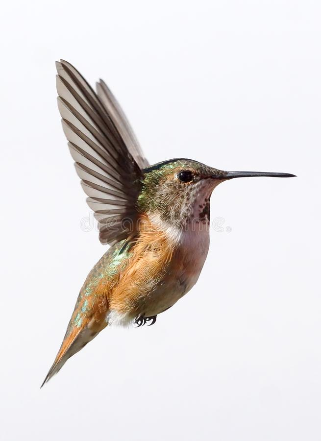 A Female Rufous Hummingbird isolated in flight stock photo