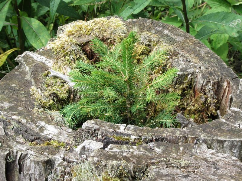 Tiny sapling sprouts from the old, grey stump of a large tree that was cut down . Young fir tree growing royalty free stock images