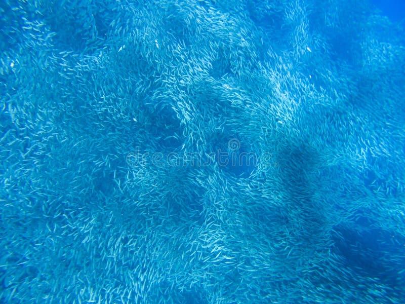 Tiny sardine carousel in open sea water. Massive fish school underwater photo. Pelagic fish school swimming in seawater stock photo