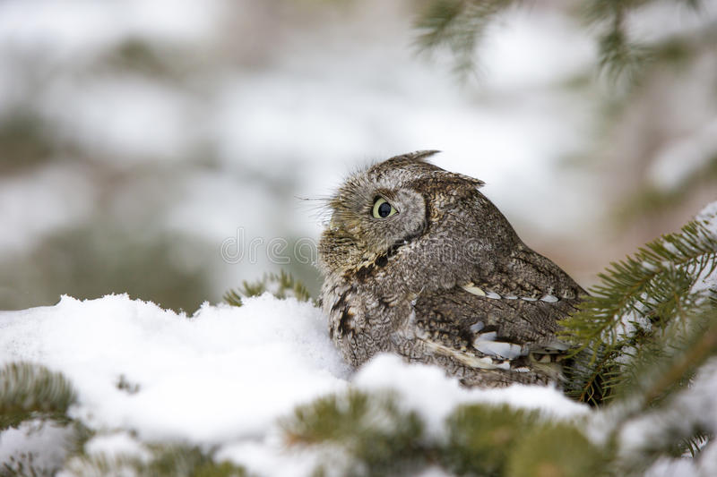 Tiny screech owl daydreaming royalty free stock image