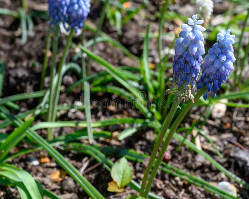 Tiny sky blue wildflowers peeking up in the springtime. Absorbing the sunshine on a bright day. bright, color, outside, outdoors, botanical, botany stock image
