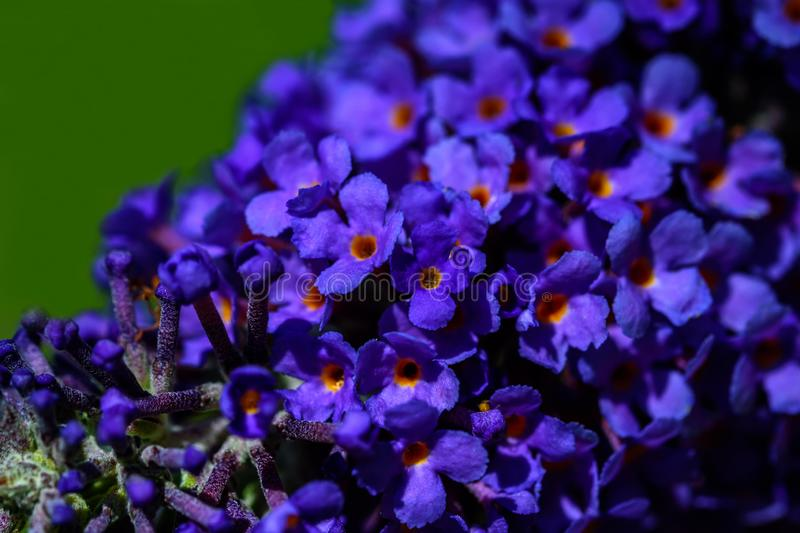 Tiny, small beautiful blue and purple flowers. Macro photo of tiny, small beautiful blue and purple flowers stock photography