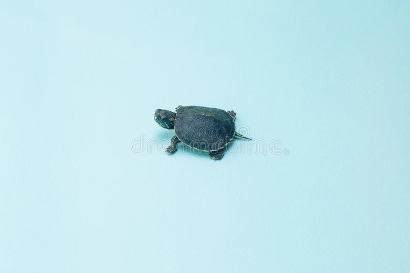 Tiny or small child of turtle with tiny shell on blue background. royalty free stock photography