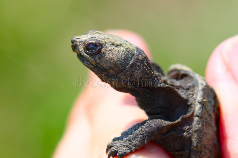 Download Tiny Snapping Turtle stock photo. Image of creature, biology - 19839274