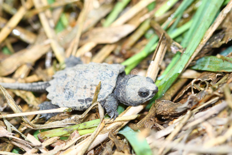 Tiny Snapping Turtle Stock Image