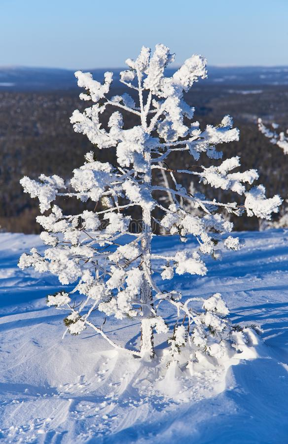 Tiny snow covered pine tree. On a mountain in Lapland, Finland on bright sunny February winter day royalty free stock photo