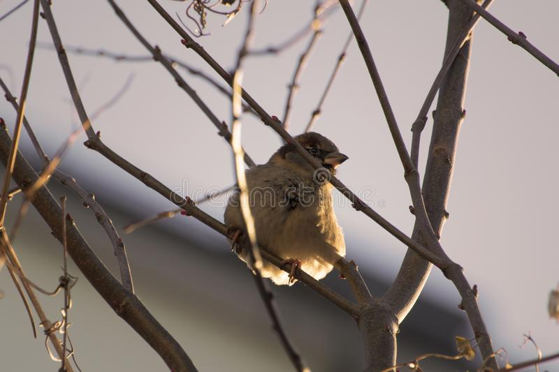 Tiny sparrow bird in golden light. A tiny sparrow sitting in bare winter branches in golden sunlightlight stock images