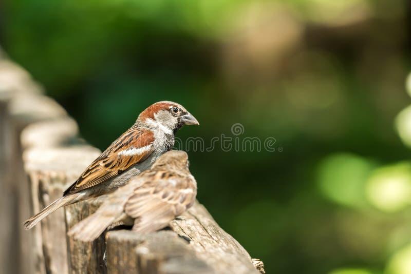 Tiny Sparrows stock image