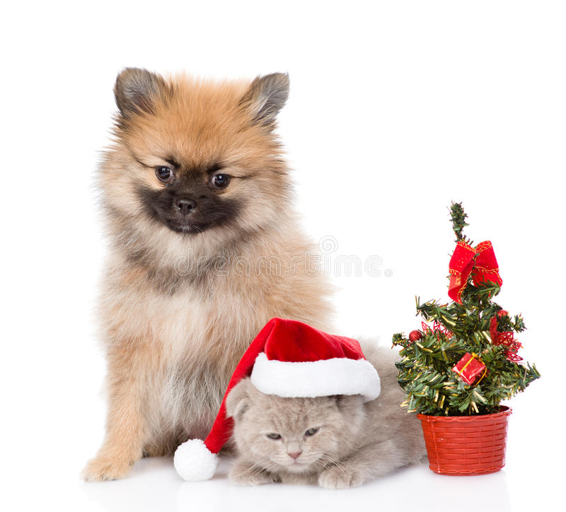 Tiny spitz puppy and scottish kitten with santa hat and christmas tree. Isolated on white stock images