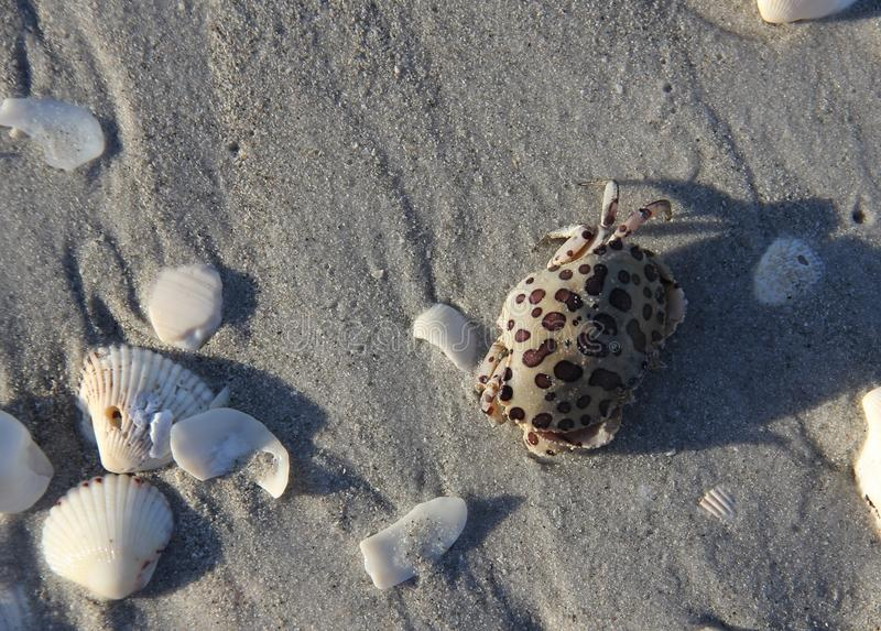 Tiny spotted crab amongst the Sanibel Sea Shells royalty free stock image