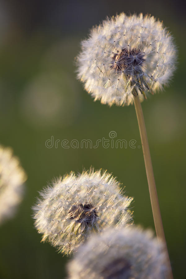 Tiny Spring Dandelions Bathing In The Last Rays Stock Photo