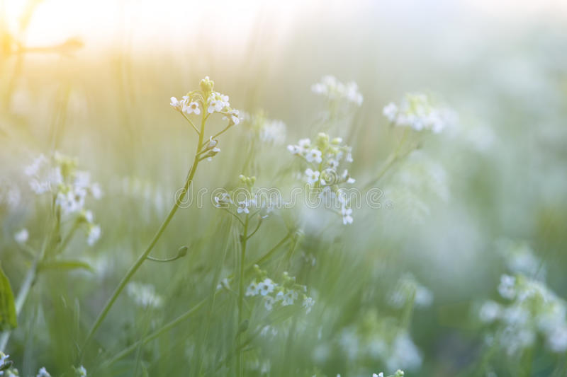 Tiny Spring flower and morning dew stock photos