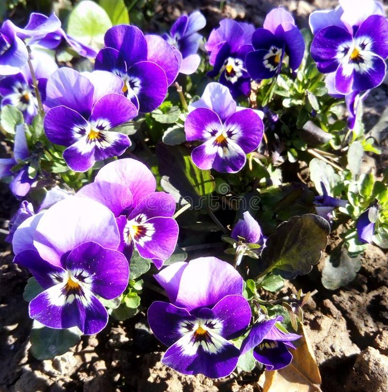 Tiny spring violets royalty free stock photography