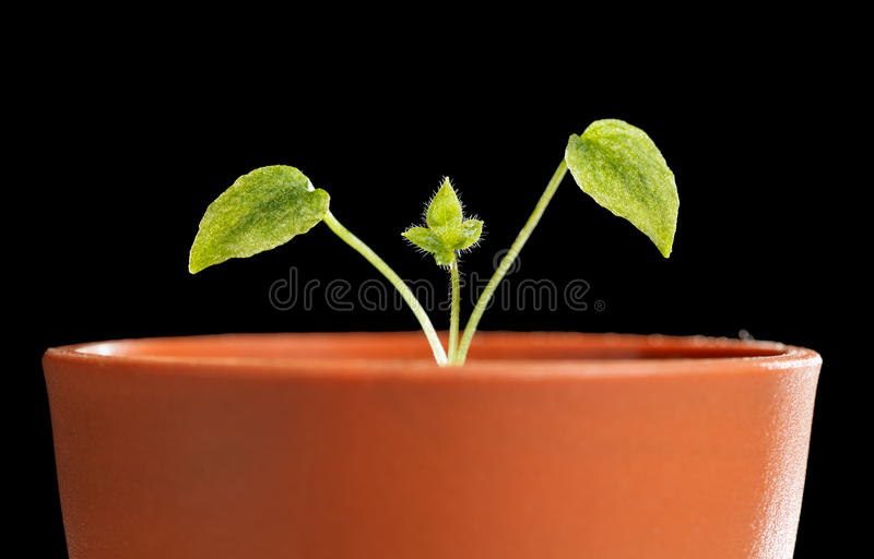 Tiny sprout in flowerpot. Macro of new tiny sprout of Delphinium with first leaves growing in small red flowerpot isolated on black background stock photos