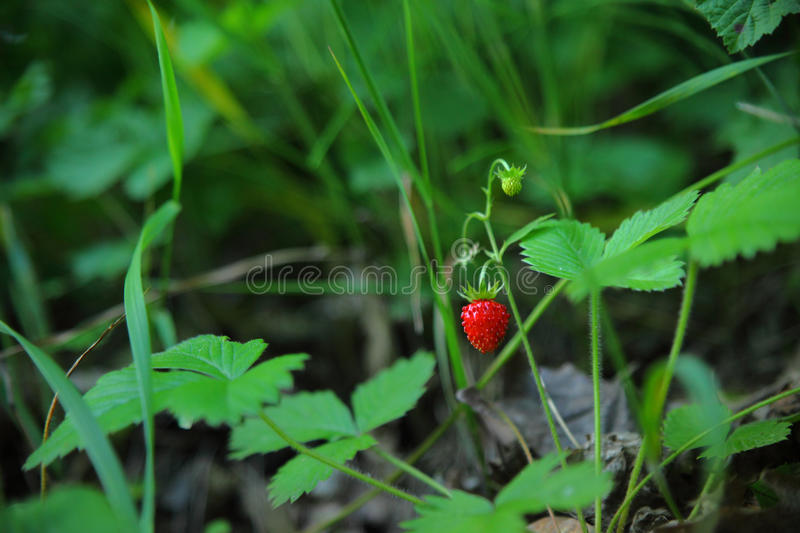 Tiny strawberry resting inbetween other plants royalty free stock photos