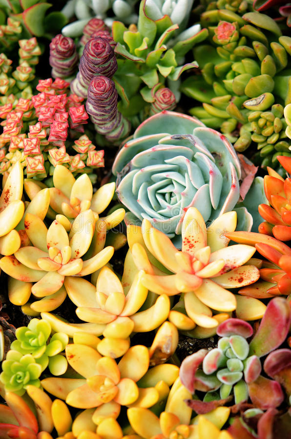 Download Tiny Succulent Garden Stock Image Of Full Maroon