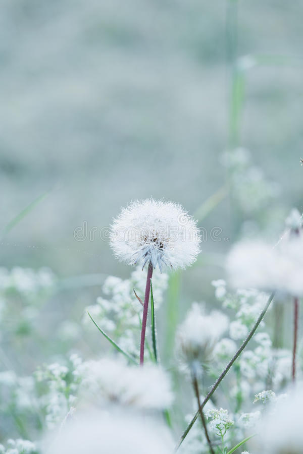 Tiny summer dandelion. With pastel colors royalty free stock photography