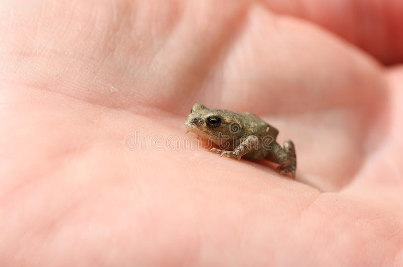 A tiny sweet baby Common Toad, Bufo Bufo, sitting on the palm of a hand. stock images
